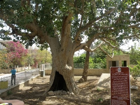 The Sycamore Tree of Zacchaeus in Jericho - Watch the video to see the original tree