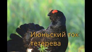 Июньский ток тетерева / Black Grouse / Lyrurus tetrix L.
