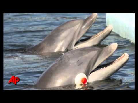 Underwater Imitation: New Dolphin Research