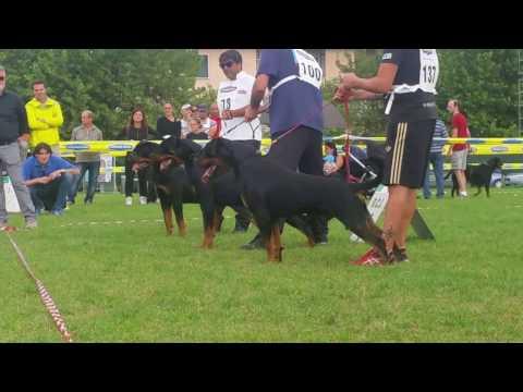 Rottweiler Italian klubsieger 2015 finale giovani maschi.