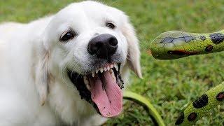 cute-dog-vs-toy-snake-funny-golden-retriever-puppy-bailey