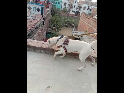 Sell urgent Pakistani bully dog sell low price call me no 7903149329. 8862924468