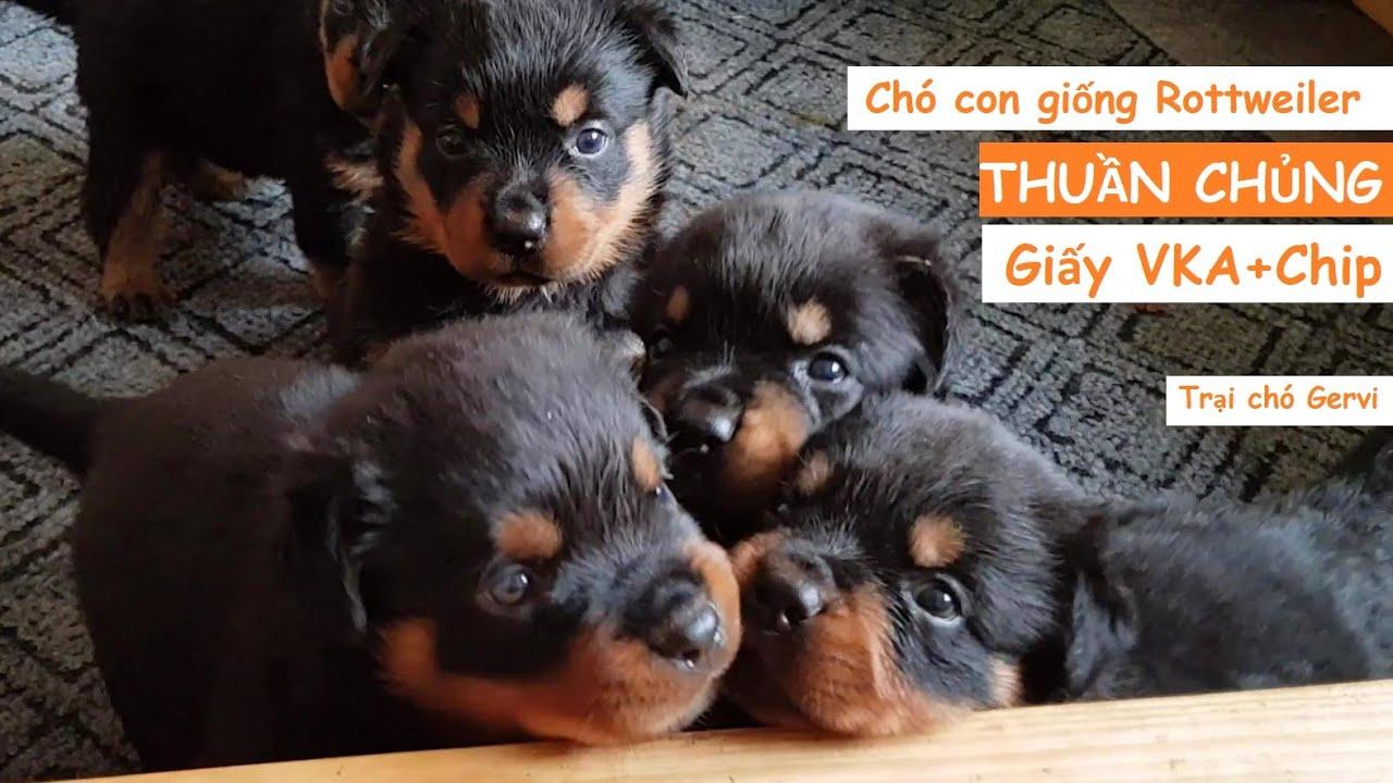 Chó Rottweiler thuần chủng-bán #chó #Rottweiler tại Hà Nội trại chó Rottweiler #GerviKennel