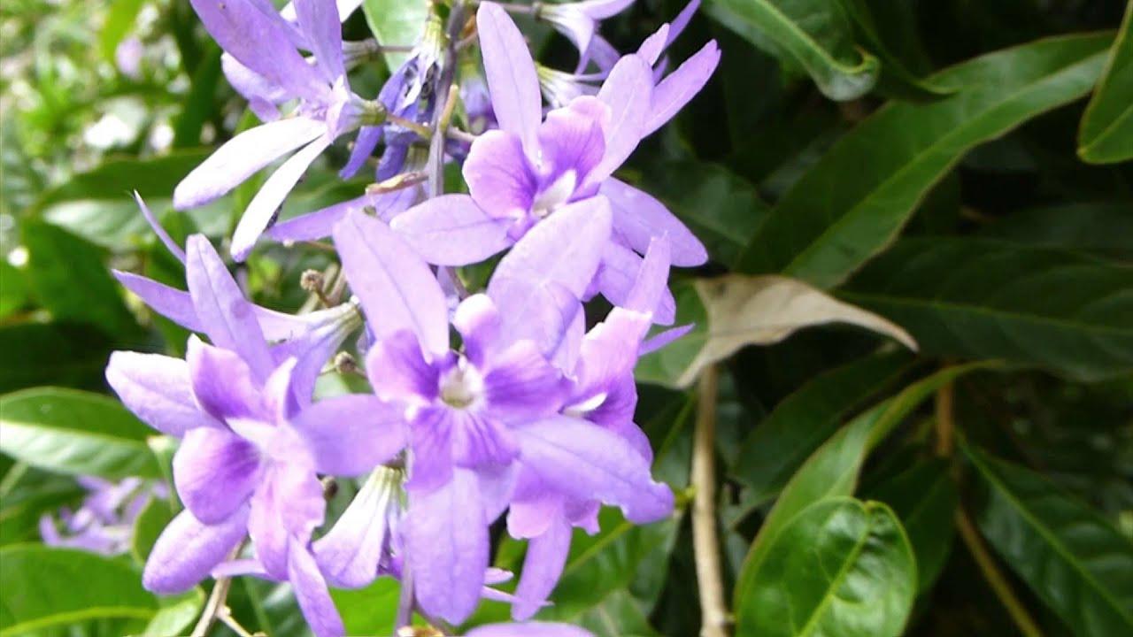 5517 arbusto con flores violetas raw plantas y for Arbustos ornamentales de exterior