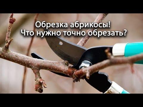 Обрезка абрикосы! Если обрезать эти ветки, то урожая не видать! Что нужно точно обрезать? Всё просто