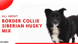 Border Collie Siberian Husky Mix: Everything You Need To Know Breed