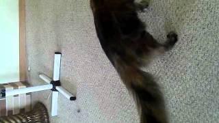 Игра кошки породы мейн кун