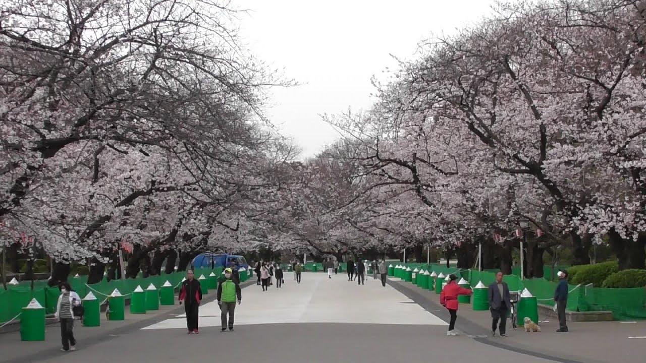 桜 開花 2020 東京