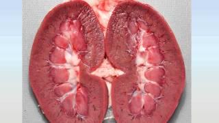 органы мочевыделения