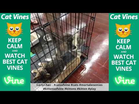 Funniest Cat Vines #18 - Updated August 8th, 2015