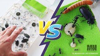 Gambar cover Hormigas vs Insectos - NO CUENTES EL FINAL ! - Messor barbarus