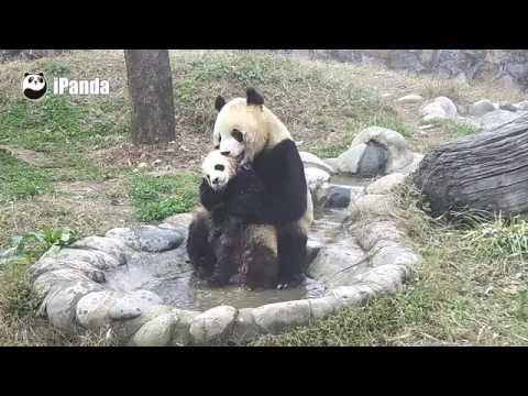 Видео с пандами