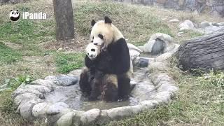 Смешные Панды!Легендарное Видео! ! !