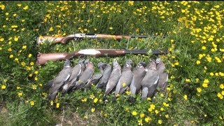 Woodpigeon Shooting over Spring Rape