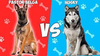 Pastor Belga Malinois VS Husky Siberiano  Quien Gana?