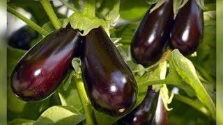 Баклажаны  - выращиваем легко и просто