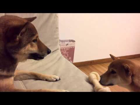 MoMo & Myan (Shiba Inu) - Big Bone