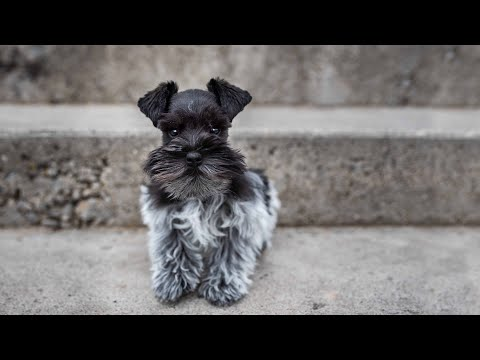 tiny-adorable-schnauzer-puppy!!!