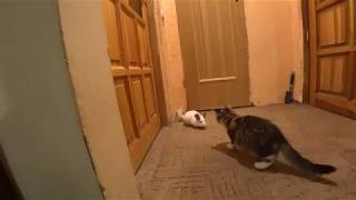 Chinchilla vs Cat. Funny pets