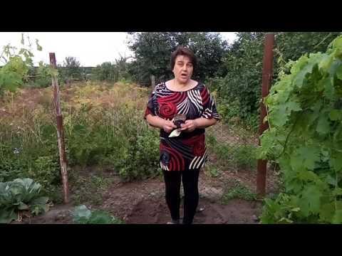 Сеем виолу и турецкую гвоздику в июле
