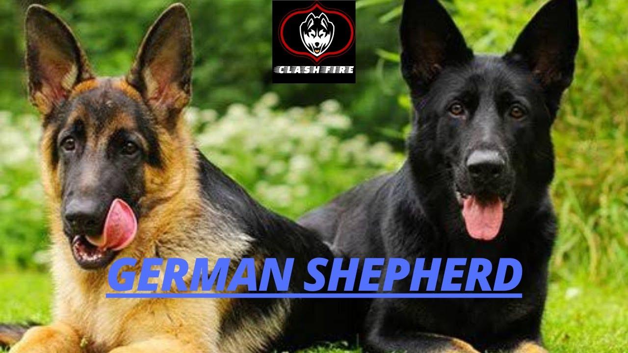 German Shepherd All Information Puppy Price Malayalam Cf Kerala Youtube