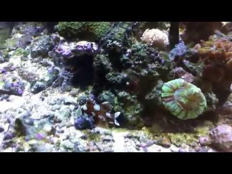 Clown Sweetlips (Plectorhinchus Chaetodonoides) - Argus Aquarium Design&Garden Flamenco w akwarium