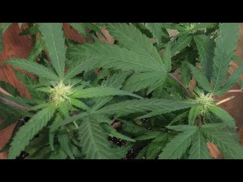 How to cross pollinate weed plants — pic 2
