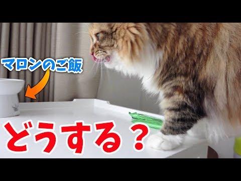 【音フェチ】ちゃちゃは食欲とマロンどっちが大事!?