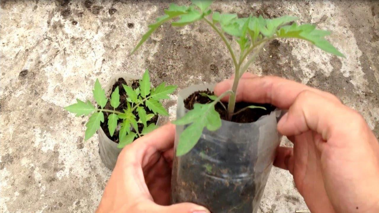 Чем подкормить рассаду помидор: удобрения и сроки 21