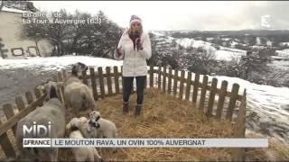 ANIMAUX : Le mouton Rava, un ovin 100% auvergnat