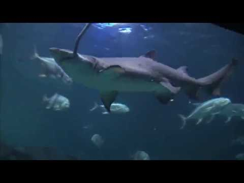 Do Tiger Sharks Have Stripes? – Discovery Sharks