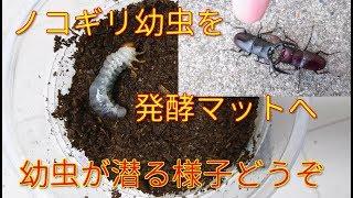 クワガタ幼虫がマットへ潜る様子をどうぞ☆ ご視聴ありがとうございまし...