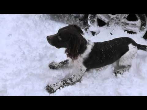 Springer Spaniel in the Snow