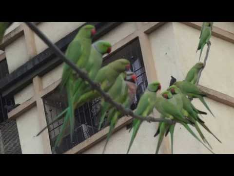 Red-breasted Parakeet with Rose-ringed Parakeets