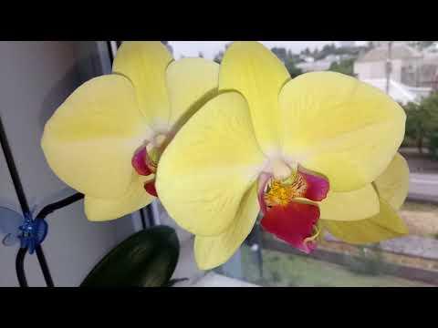 Орхидея Golden Beauty .Цветение.