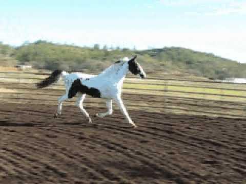 Homozygous Pinto Stallion Arctic Sensation