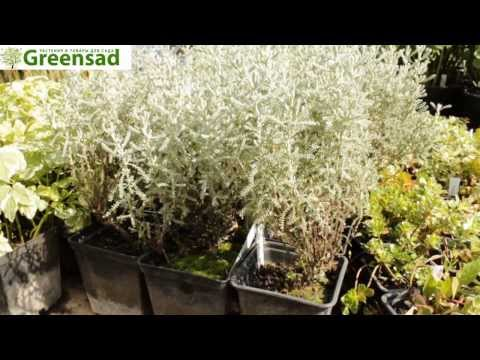 Сантолина кипарисовидная - видео-обзор от Greensad