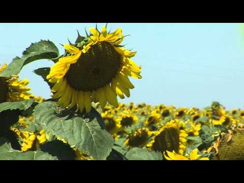 Landscapes of South Dakota: Sun Flowers
