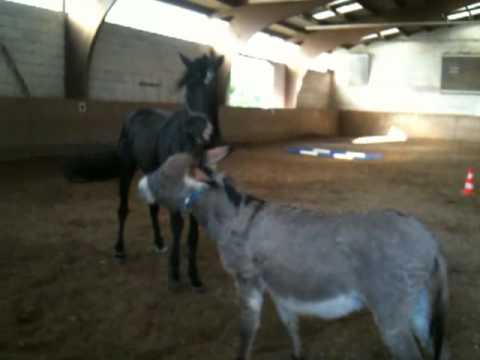 Another one: Doudou the little donkey dances with the big black stallion
