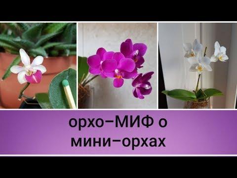 орхо-МИФ о мини-орхидейках