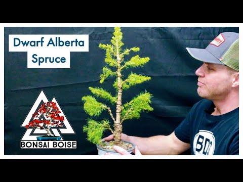 Dwarf Alberta Spruce - (pre-bonsai)