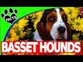 Dogs 101: Basset Hounds Fun Facts Most Popular Dog Breeds - Animal Facts