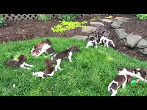 German Short-haired Pointer Puppies for Sale!