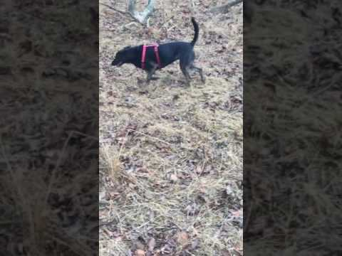 3 PITBULLS ONE LAB MIX IN THE WOODS