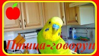 Птица-говорун//Волнистый попугай говорит//Говорящий попугай