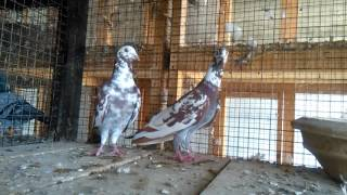 Qasid Pigeon Racing Homer Pigeons farming in Pakistan 03459442750 Zain Ali