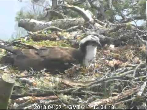Laddie on Lady's 4 eggs (unedited, no sight of eggs) - Scottish Wildlife Trust