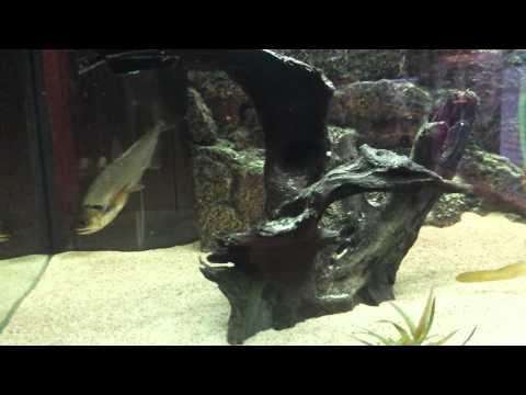 Monster Fish/aquarium: How To Make A Payara Eat Df