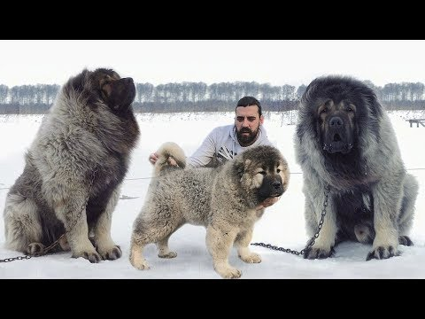 These Are 10 Heaviest Dog Breeds Ever