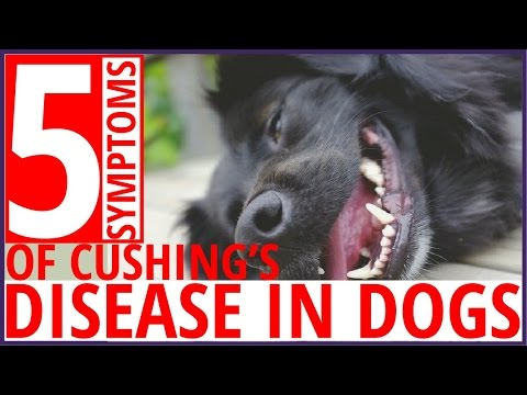 Top 5 Symptoms of Cushing's Disease in Dogs !! dog health tips 2017